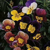 Medium-sized flowers, bicoloured and tricoloured. Compact plants, blooming freely from spring to autumn in beds and borders, and as edging. Cute littl