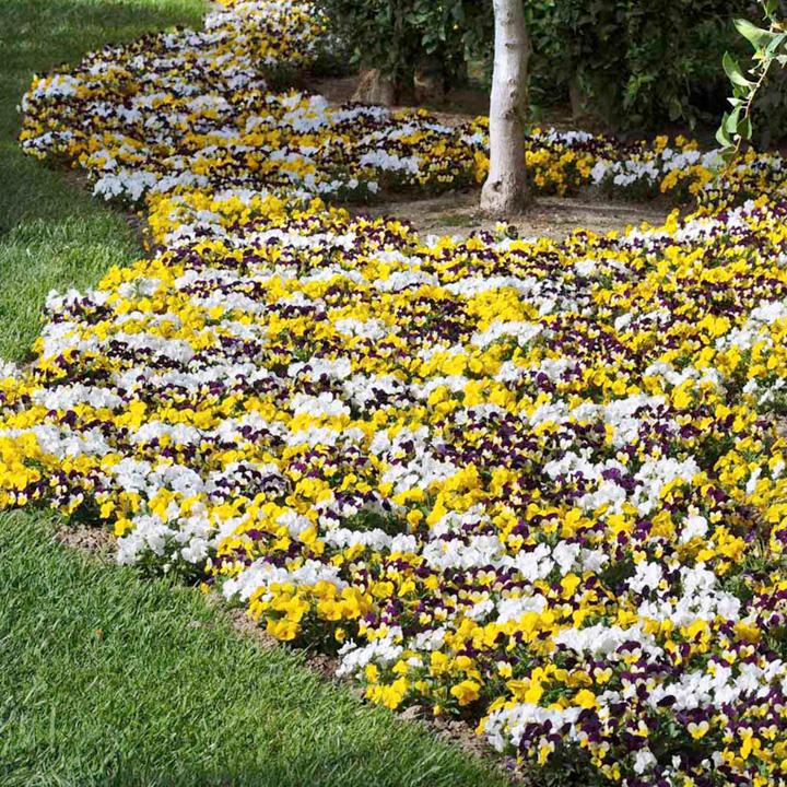 Viola cornuta Sorbet - 30 Garden Ready Plants