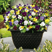 Excellent winter/spring performance, producing large flowers in a range of bright colours. Compact plants, blooming freely from spring to autumn in be