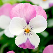 Viola Plants - Pink Wing