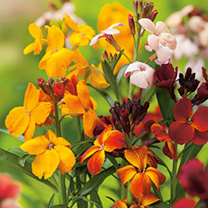 Wallflower Plants - Persian Carpet Mix