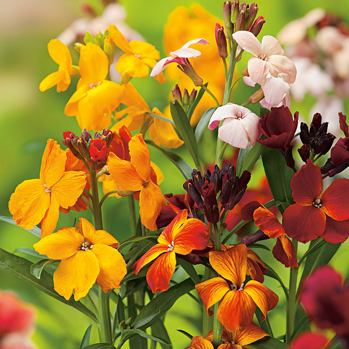 Wallflower Plants - Persian Carpet Mix