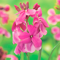 Wallflower Plants - Giant Pink