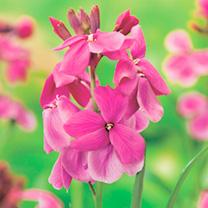 Wallflower Plants - Giant Pink