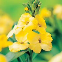 Wallflower Plants - Primrose Dame