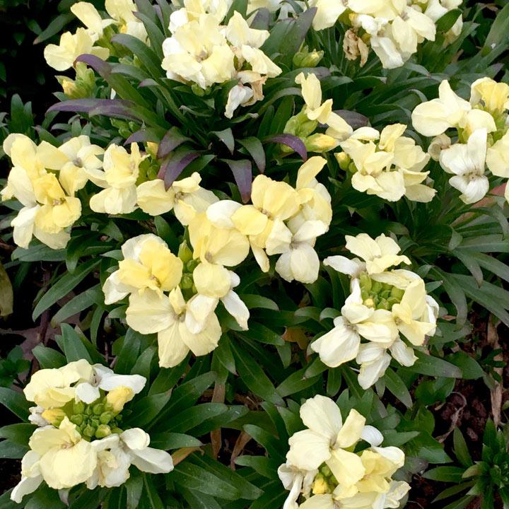 Wallflower Plants - White Dame