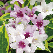 Weigela florida Plant - Variegata