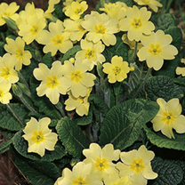 The primrose is perhaps one of our most loved and familiar native flowers, heralding spring with pretty clusters of pale lemon flowers nestle amongst