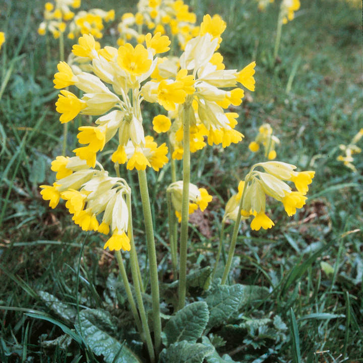 Cowslip Seeds