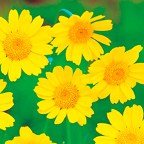 These bright yellow flowers were once common in the cornfields of Britain, but nowadays are confined principally to areas of waste. Height 45-60cm (1-