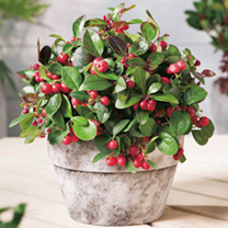 Gaultheria Plant