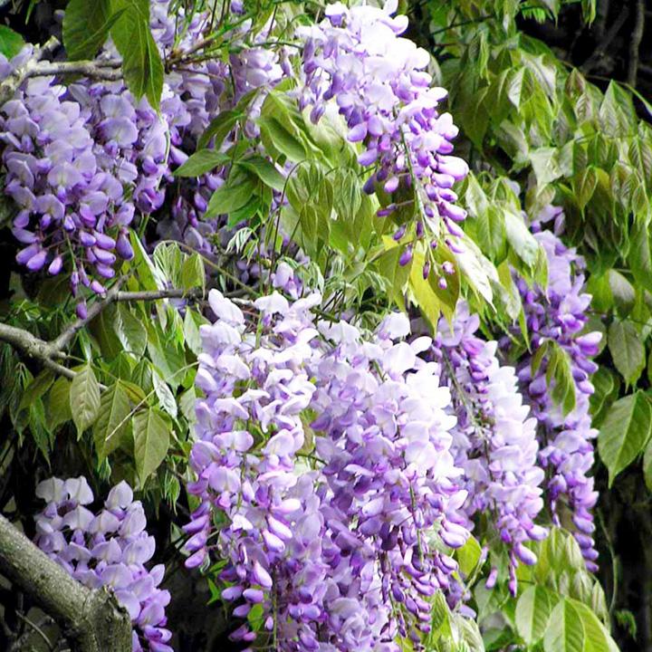Wisteria sinensis Plants