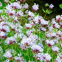 A beautiful and graceful annual for any flower bed or large container. Plants are covered with heads of unusual tubular, lavender-blue blooms over a l
