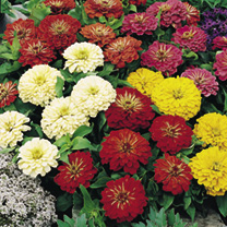 Bright double flowers of good size. Sun-loving plants, free-flowering, long-lasting, and gaily coloured. HHA Half hardy annual. Height 38cm (15).