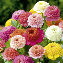Zinnia Faberge Mix Seeds