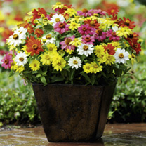 An outstanding variety producing masses of large flowers in a range of vibrant colours. Plants are heat tolerant, so ideal for beds or borders in a ho
