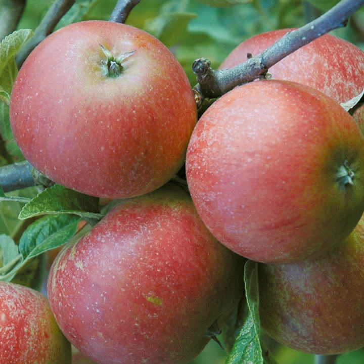 Apple Self Fertile Queen Cox (1)