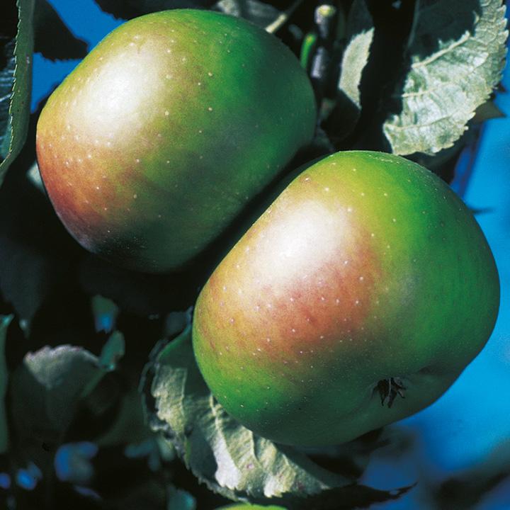 Apple Bramley (Clone 20) (1)
