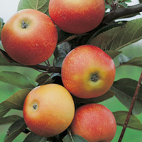 Apple Tree - Orlean's Reinette
