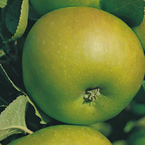 Apple Tree - Bramley (Clone 20)