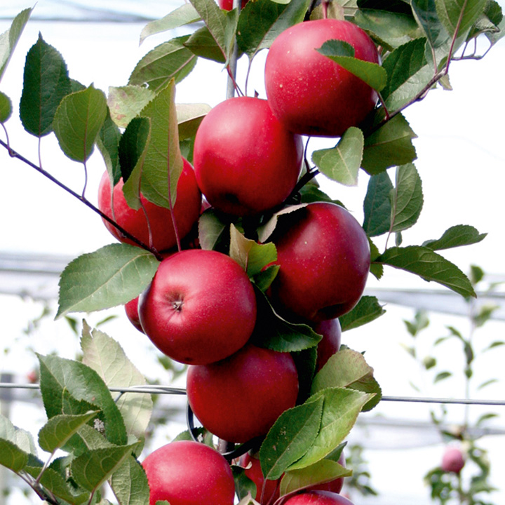 Apple Tree - Redlove Era