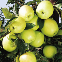 Apple Tree - Golden Delicious