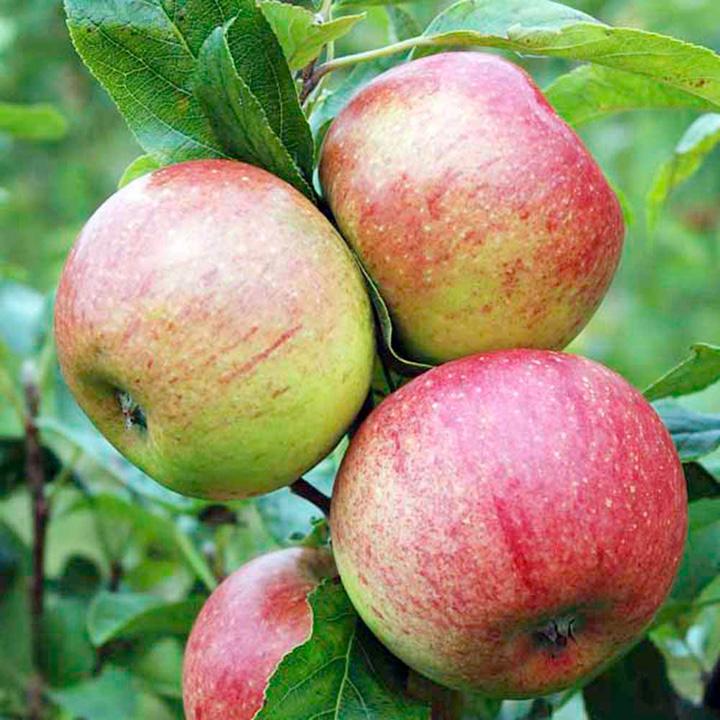 Apple Charles Ross 1