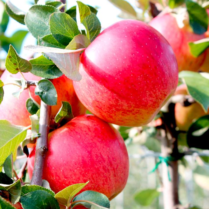 Apple Paradis® Tree - Elegance®