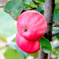 Apple Tree - Redlove