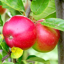 Apple Tree - Elstar