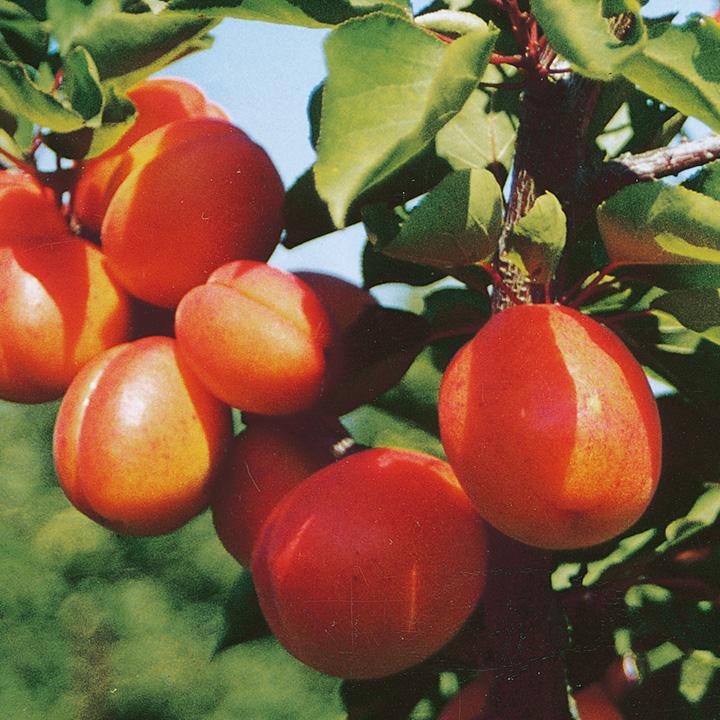 Apricot Flavourcot (1)