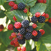 Blackberry Plant - Chester