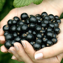 Blackcurrant Plant - Ebony
