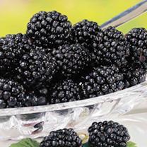 Blackberry Plants - Navaho Bigandearly