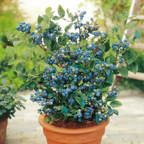 blueberry plants collection 223060