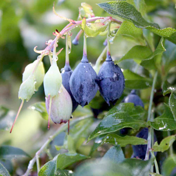Blueberry Plant - Bluedrop