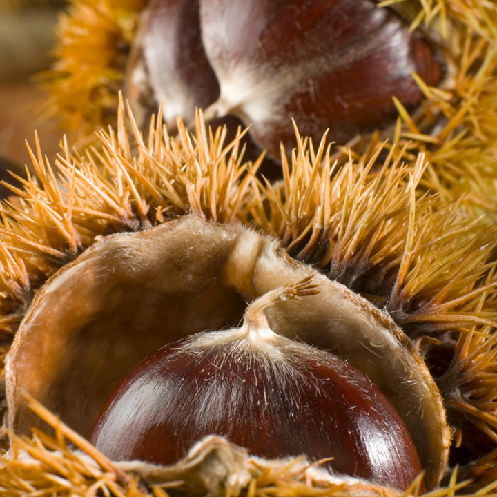 Nut Sweet Chestnut Regal 1