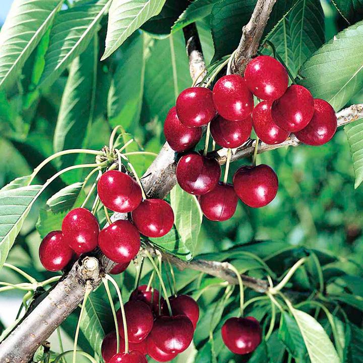 Fruttoni Cherry Cinderella 1 5Ltr