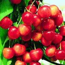 Cherry Tree - Duo Napoleon Bigarreau/Variks Black