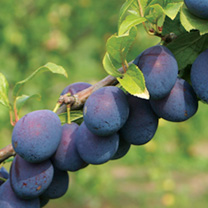 Ideal for preserves. Large blue-black fruit with yellow flesh, wonderful rich tangy flavour. Delicious with yogurt or ice cream or in pies, jams and l