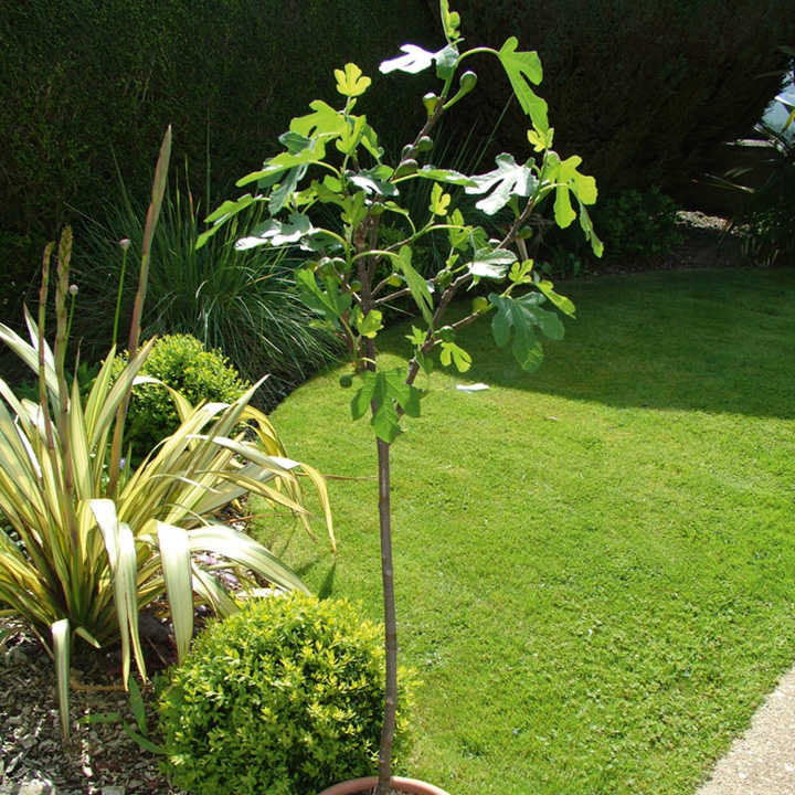 Brown Turkey Fig Tree Care http://www.suttons.co.uk/Gardening/Fruit/Fruit+Trees/All+Fruit+Trees/Fig+Brown+Turkey+-+Standard+Tree+Ficus+carica_231282.htm