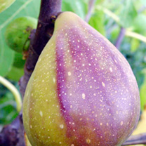 Fig Plant - Gustissimo Two Timer