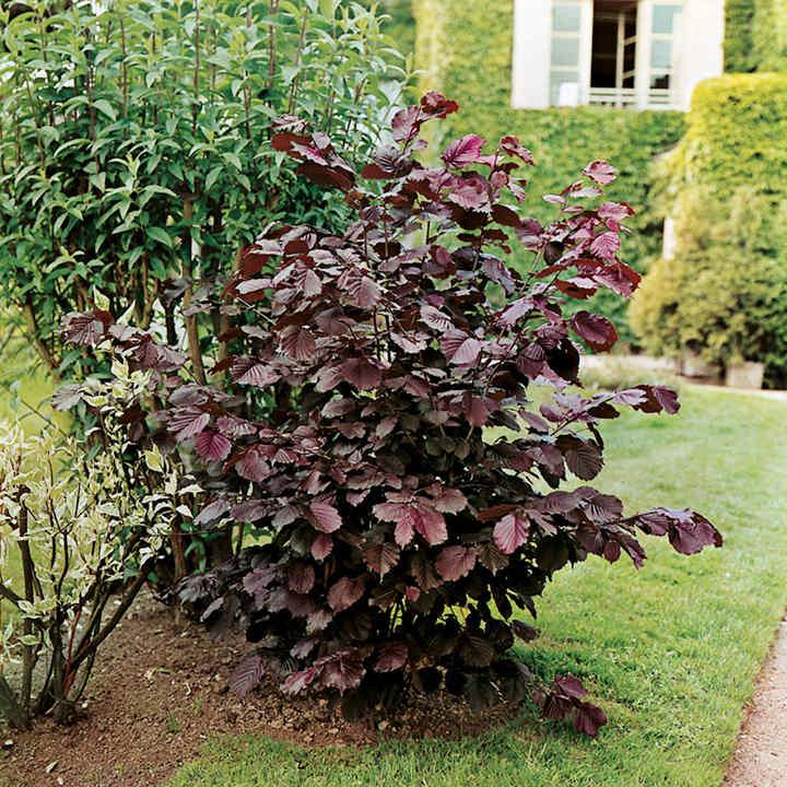 Nut Tree - Purple Filbert