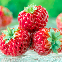 Strawberry Plants - Framberry