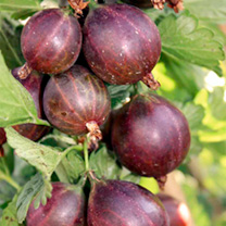Gooseberry Plant - Lady Late