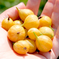 Gooseberry Crispa Plant - Solemio