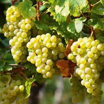 Seedless white grape producing very large bunches of golden-green, delicious dessert grapes. Also suitable for greenhouse or conservatories. Vigorous