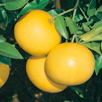 Made popular in the 19th century, the grapefruit tree boasts attractive dark green leaves, white flowers and round yellow/orange-skinned fruits that a