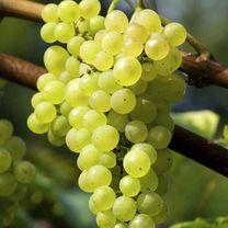 Grape Vine Plant - Phoenix