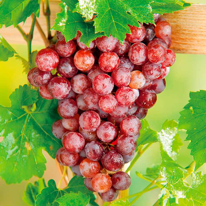 Grape Vine Plant - Flame (Seedless)